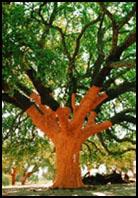 link a The whistler tree-arvore de grande porte em Aguas de Moura